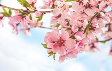 Весенняя нежность. Китайский персик и голубое весеннее небо