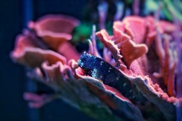 Starry Blenny (Salarias ramosus)