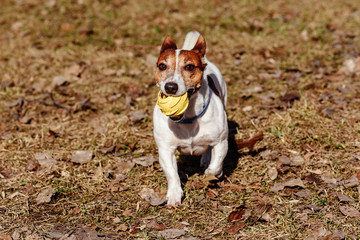 Dog playing with toy rubber ball on last year old leaves