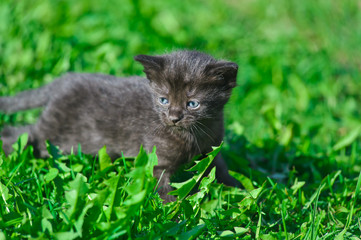 Black kitten in green grass