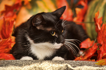 Black cat with orange pumpkins and autumn leaves