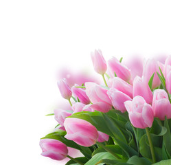 Bouquet of pink fres tulips close up over white background