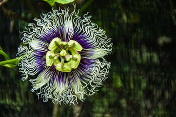 The passion fruit flower closeup