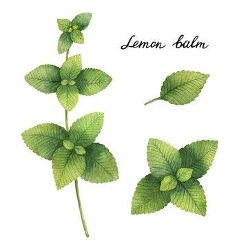 Hand drawn watercolor botanical illustration of Lemon balm.