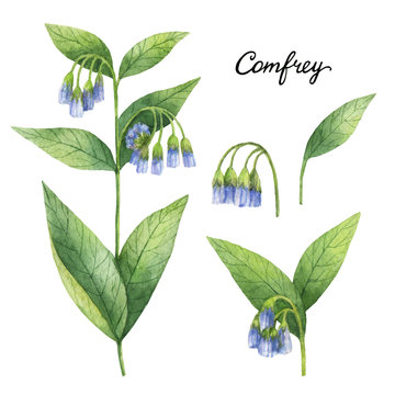 Hand drawn watercolor botanical illustration of Comfrey.
