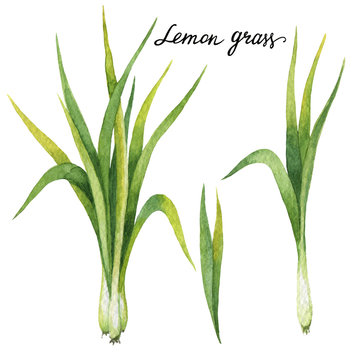 Hand drawn watercolor botanical illustration of Lemon grass.