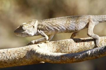 Oustalet's Chameleon (Furcifer Oustaleti) - Rare Madagascar Endemic Reptile