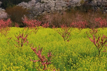 福島県 春の花見山