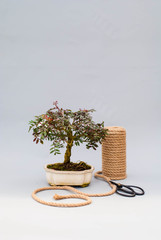 Bonsai on a light gray background. Bonsai with scissors and twine. Homemade plant on a gray background.