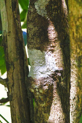 Masked mossy leaf-tailed gecko, Uroplatus sikorae, species of gecko with the ability to change its skin color to match bark of tree. Andasibe National Park, Analamazaotra, Madagascar wildlife