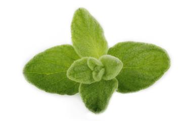 oregano leaves isolated
