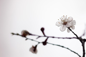 Blossoming tree brunch with spring white flowers on blurred background