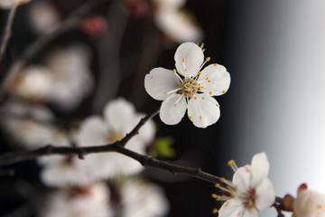 Blossoming tree brunch with spring white flowers on blurred dark background