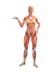 Female muscle anatomy 3D Illustration