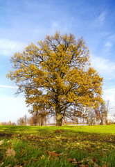 oak tree with yellow leaves