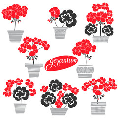 Blooming colorful geraniums in pots. Seamless vector pattern. Floral illustration on white background.