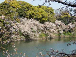 桜の名所「千鳥ヶ淵(東京)」