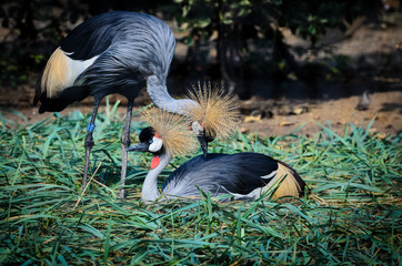 A couple of black crowned cranes (Balearica pavonina).