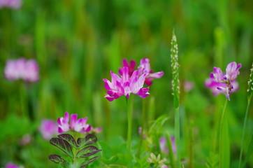 満開の蓮華草