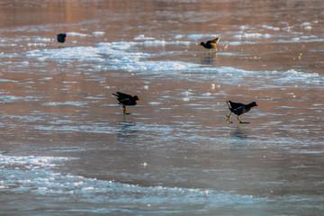 Poules d'eau sur le lac gelé à Saint Priest