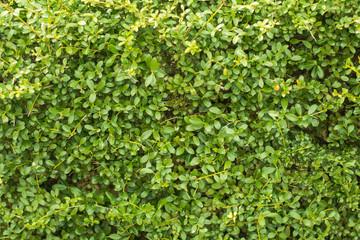 Green wall background  of a Garden.