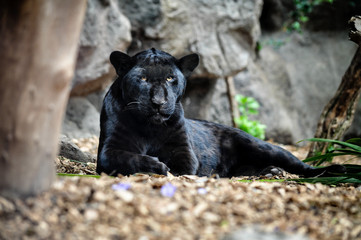 Zelfklevend Fotobehang Panter Black panther lying on the ground and looking.
