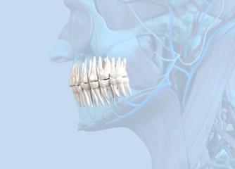 Anatomical dental model of human teeth for dentistry, dental care, medical students. 3d illustration