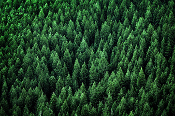 Aluminium Prints Forest Forest of Pine Trees in Wilderness Mountains