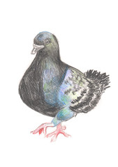 Pigeon walking. Bird dove drawn in colored pencils on white paper. Black grey and blue.