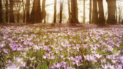 Beautiful colorful magic blooming first spring flowers purple crocus in wild nature field. Sunset sunlight in forest. Horizontal toned image.