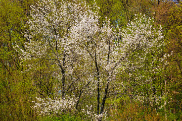 Wild cherry trees in a beech forest
