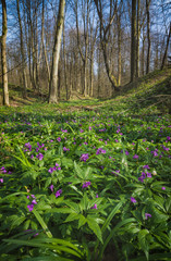 Many purple flowers in a wild spring forest