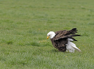 Bald Eagle sitting in a grassy field in Northern Nevada.