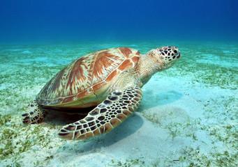 Meeresschildkröte auf Seegraswiese