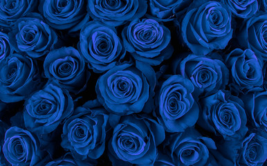 Beautiful blue roses, floral background