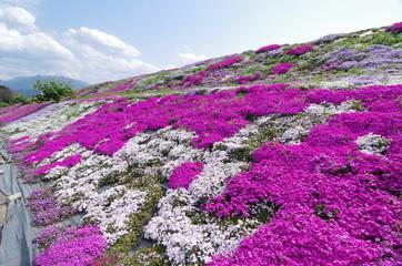 芝桜(愛媛県西条市)