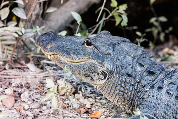 Alligator in the Florida Everglades National Park