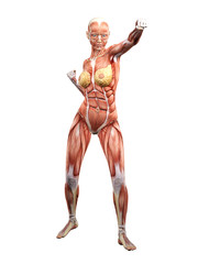 Female muscle anatomy fighting 3D Illustration