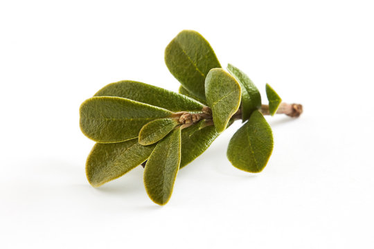 Bearberry leaves (medicinal plant Arctostaphylos uva-ursi) isolated on white background