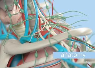 Anatomy body model extreme close-up. Selective focus. Human anatomy body. 3d illustration.