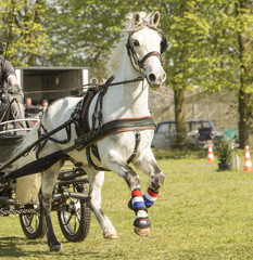 Printed kitchen splashbacks Horses Wit paard in gallop