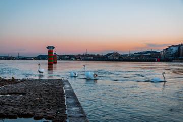 Cygnes à la pointe de la confluence du Rhône et de la Saône à Lyon