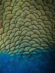 Indian peacock feathers background and texture.