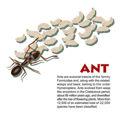 Real ant insect illustration