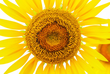 close up. flower of sunflower blooming in the garden. background