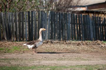 Gray domestic geese walk around the village