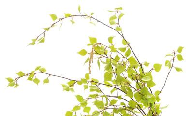 Birch branches.