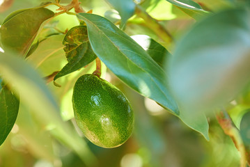 One avocado fruit hang on tree