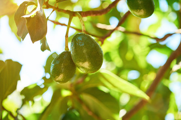 Green avocado fruits