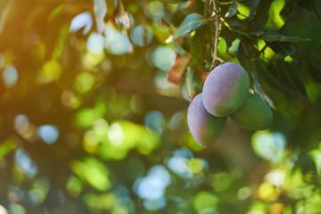 Pink mango fruits